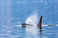 killer whale or orca, Orcinus orca, adult, bull, spouting, blowing, surfacing, Glacier Bay National Park, Southeast Alaska, aka Alaskan Panhandle, Alaska, USA, Pacific Ocean