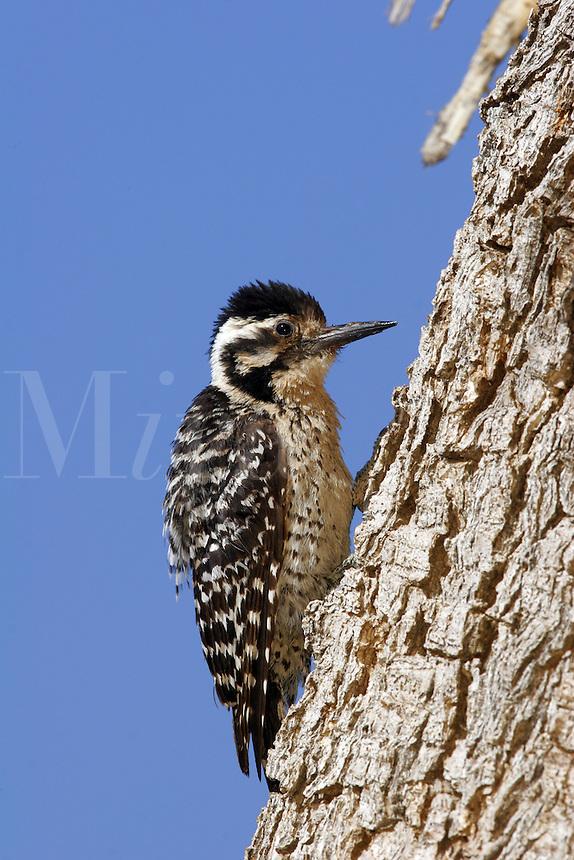 Ladder-Backed Woodpecker, Pioneertown, Mojave Desert, California.