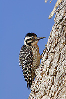 Ladder-Backed Woodpecker, Pioneertown, Mojave Desert, California.