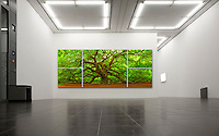 This majestic Southern live oak (Quercus virginiana) is estimated to be more than 500 years old, and covering over 17,000 square feet.  At a resolution of over 120 megapixels, the resolution is outstanding, and I am pleased to offer this unique 5 panel mosaic presentation which can be printed over 10 feet wide.<br /> CONTACT ME FOR PRICING