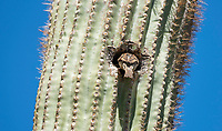 House Sparrow, Passer domesticus, nests in a Saguaro cactus, Carnegiea gigantea, in the Desert Botanical Garden, Phoenix, Arizona