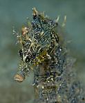 Seahorse, Hippocampus erectus, with baby octopus on head