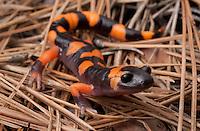 Large-Blotched Ensatina - Ensatina eschscholtzii klauberi - Another of the Ensatina Salamanders, this species lives only in the mountain forests of Southern California.