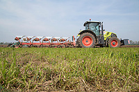 Ploughing cover crop ready for planting lettuce - Lincolnshire, May