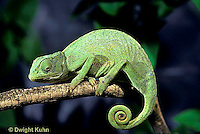CH02-042z  African Chameleon - showing curled tail  - Chameleo senegalensis