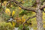 Scots Pine (Pinus sylvestris) in Caledonian forest, Glen Strathfarrar, Scottish Highlands. Scotland. October.