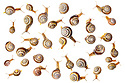 Brown lipped snails {Cepaea nemoralis} photographed on a white background. Digital composite, all snails pictured are different individuals. Peak District National Park, Derbyshire, UK. April