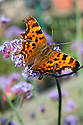 Comma butterfly (Polygonia c-album) on Verbena bonariensis, late September.