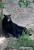 1021-1009  American Black Bear Resting on its Back Against a Tree, Ursus americanus  © David Kuhn/Dwight Kuhn Photography