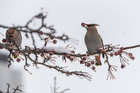 Bohemian Waxwings feed on berries on ornamental trees  on UAA's Cuddy Quad.