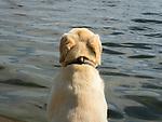 Yellow labrador dog from behind looking at lake water.