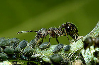 """1A16-006z  Ant - """"milking"""" aphids, mutualism"""