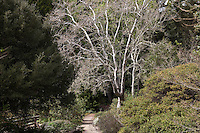 California sycamore (Platanus racemosa) deciduous tree in winter by path in East Bay Regional Parks Botanic Garden, California native plant