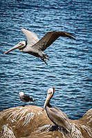 One Brown Pelican flies over while a seagull and another pelican rest on the rocks at California's La Jolla Cove.