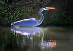 A great blue heron walks along the bank of a pond.