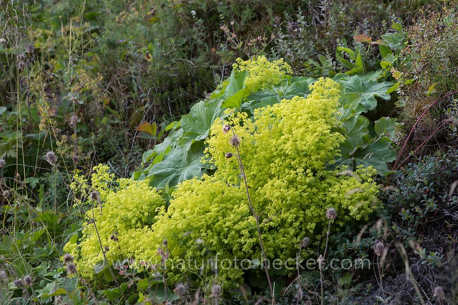 Weicher Frauenmantel, Großblättriger Frauenmantel, Frauenmantel, Alchemilla mollis, Alchemilla acutiloba var. mollis, garden lady's-mantle, lady's-mantle