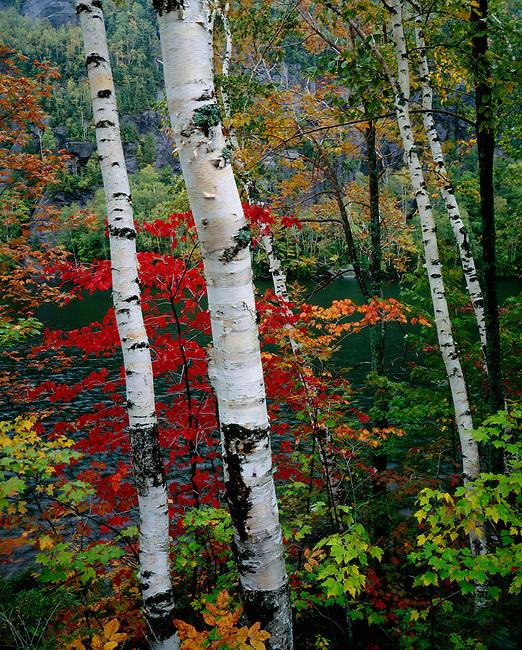 Birches; autumn; Chapel Pond Adirondack State Park; New York