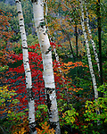Birches; autumn; Chapel Pond Adirondack State Park; New York