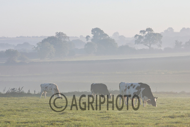 Dairy cows in the early morning mist