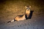 A black-footed ferret stands watch in Buffalo Gap National Grasslands in South Dakota.