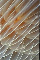 Spirographis spallanzanii © Ricardo Fernandez - VWPics