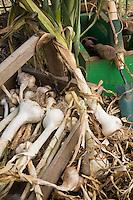 harvesting garlic (herbs) from the vegetable garden