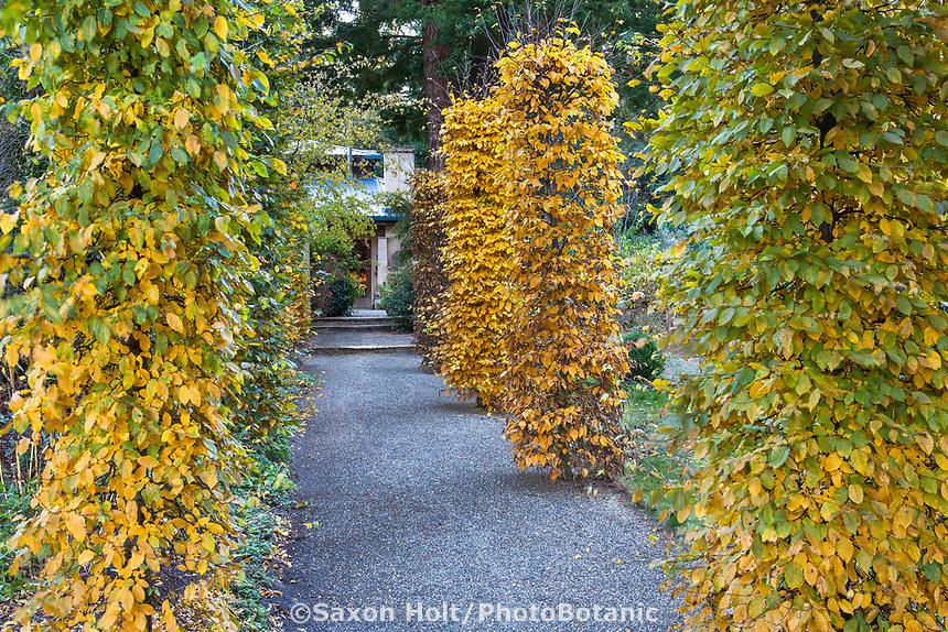Hornbeam trees (Carpinus betulus) pruned as columns along entry walkway in Gary Ratway garden