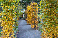 Hornbeam trees (Carpinus betulus) pruned as columns along entry walkway in Gary Ratway garden