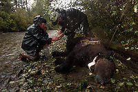 Rod Flynn and Lavern Beier of Fish and Game are doing brown bear research in the Unuk River. With a foot snare, they captured a 400 pound 12 yr old female. It was in a precarious position over the creek and they had to float the bear across the creek with rising waters and a strong current to work on her in a safer place.  It was like a rescue. Several bears were tagged radio collared last year and they are being recaptured in snares so their batteries can be replaced...all will drop off automatically in a couple of weeks.  They are tracking the bears movement and habitat use.  The bears captured on this trip had not been caught before.  It is presumed they are traveling through Canada (14 miles away) and back down so it is a complicated issue for hunting management. The Unuk which means Dream River in Tlingit, is a new river continuing to cut new channels. Rod Flynn and Lavern Beier of Fish and Game are doing brown bear research in the Unuk River. With a foot snare, they captured a 400 pound 12 yr old female. It was in a precarious position over the creek and they had to float the bear across the creek with rising waters and a strong current to work on her in a safer place.  It was like a rescue. Several bears were tagged radio collared last year and they are being recaptured in snares so their batteries can be replaced...all will drop off automatically in a couple of weeks.  They are tracking the bears movement and habitat use.  The bears captured on this trip had not been caught before.  It is presumed they are traveling through Canada (14 miles away) and back down so it is a complicated issue for hunting management. The Unuk which means Dream River in Tlingit, is a new river continuing to cut new channels.
