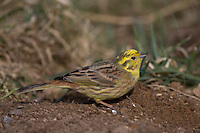 Goldammer, Gold-Ammer, Ammer, Emberiza citrinella, yellowhammer, Le Bruant jaune