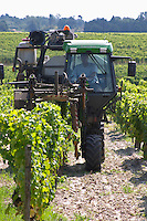 Trimming leaves and branches off the vines. Chateau Guiraud, Sauternes, Bordeaux, France