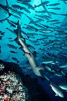 Whitetip reef shark, Cocos Island, Triaenodon obesus, Costa Rica, East Pacific Ocean