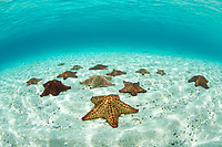 Pincushion Starfish<br /> St. John<br /> US Virgin Islands