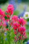 Red Paintbrush, locally known as Indian Paintbrush, along the Paradise River in Mt. Rainier National Park near famous Paradise Lodge.  Mountain Lupine forms a colorful backdrop.