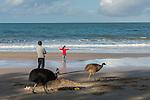 Cassowary/cassowaries (Casuarius casuarius johnsonii) passing through tourists, families, playing kids walking through a camp site by the beach. Southern cassowary (Casuarius casuarius) also known as double-wattled cassowary, Australian cassowary or two-wattled cassowary.