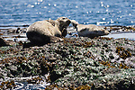 Lime Kiln Point State Park, San Juan Island, Washington; a pair of Harbor Seals lay on the rocky shore at the water's edge