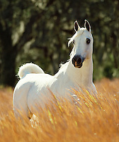 Arabian stallion in field of tall grass.