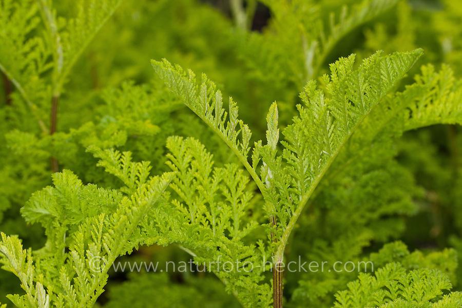 Rainfarn, Blatt, Blätter vor der Blüte, Rain-Farn, Tanacetum vulgare, syn. Chrysanthemum vulgare, Tansy