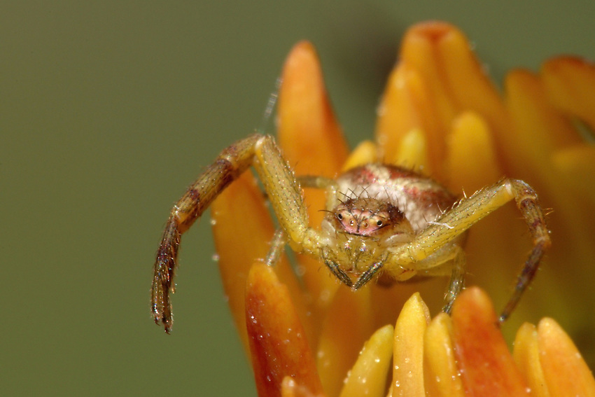 Crab spiders or Thomisidae family of the Araneae order.