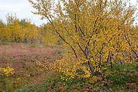 Moor-Birke, Herbstfärbung, herbstlich, Herbstlaub, Moorbirke, Haar-Birke, Besen-Birke, Behaarte Birke, Betula pubescens, syn. Betula alba, downy birch, moor birch, white birch, downy-birch, moor-birch, white-birch, European white birch, hairy birch. Island, Iceland