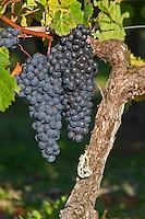 Old vine. Bunches of ripe grapes. Merlot. Chateau Paloumey, Haut Medoc, Bordeaux, France.