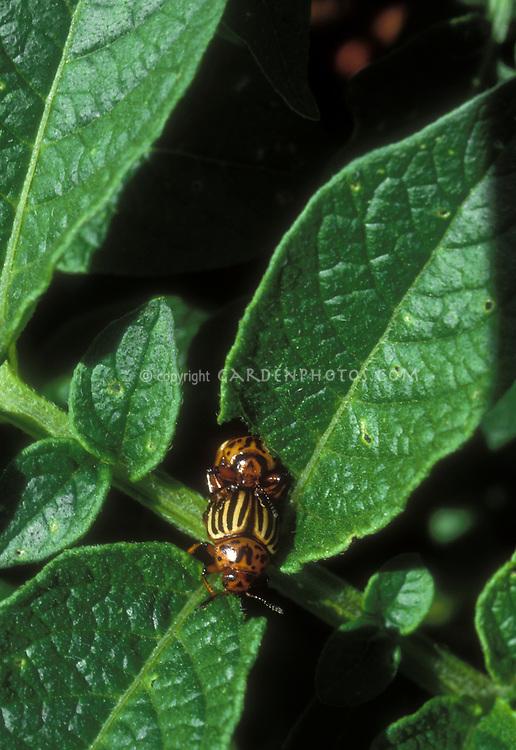 Leptinotarsa decem-lineata aka Leptinotarsa decemlineata Colorado Potato beetle insect pests mating on vegetable crop