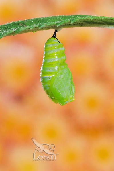 MONARCH BUTTERFLY life cycle..Pupation on Joe-Pye leaf. .North America. (Danaus plexippus).