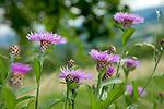 Europa, DEU, Deutschland, Baden-Wuerttemberg, Schwaebische Alb, Wiesen-Flockenblume (Centaurea jacea), auch Gewoehnliche Flockenblume, Natur, Umwelt, Pflanzen, Pflanzenkunde, Botanik, Biologie, <br /> <br /> [Fuer die Nutzung gelten die jeweils gueltigen Allgemeinen Liefer-und Geschaeftsbedingungen. Nutzung nur gegen Verwendungsmeldung und Nachweis. Download der AGB unter http://www.image-box.com oder werden auf Anfrage zugesendet. Freigabe ist vorher erforderlich. Jede Nutzung des Fotos ist honorarpflichtig gemaess derzeit gueltiger MFM Liste - Kontakt, Uwe Schmid-Fotografie, Duisburg, Tel. (+49).2065.677997, ..archiv@image-box.com, www.image-box.com]