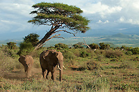 """The """"awe"""" of Mother Nature is stunning with the distance beauty of the landscape of Sinya Preserve framing these elephants as if it were painted by an artist with intention. African Elephant, Loxodonta africana, Sinya Preserve, Tanzania"""