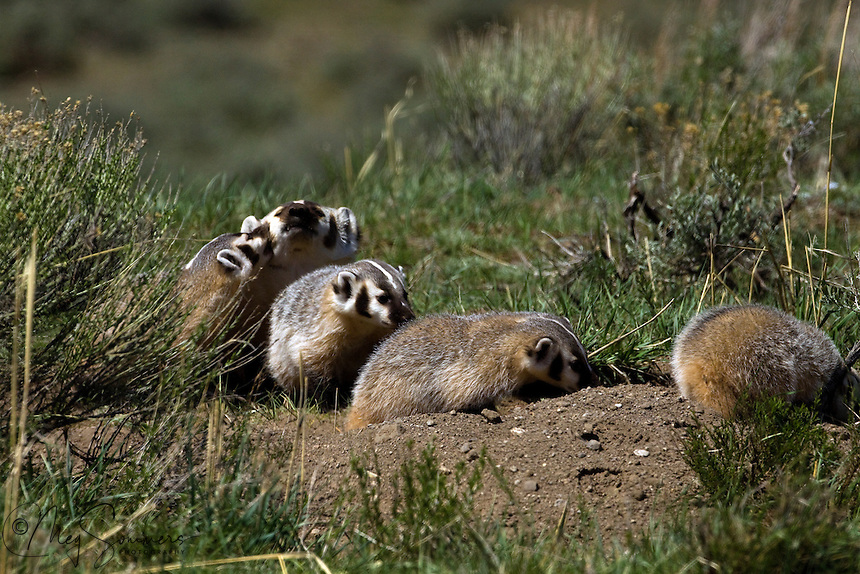 American Badger (Taxidea taxus) with 4 cubs have come above ground for some fresh air. Badgers shelter underground, living in burrows called setts, which may be very extensive. Some are solitary, moving from home to home, while others are known to form clans.