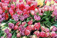 Tulips - spring flowering bulbs en mass, many types and colors, lavender, pink, red, yellow, bunches of Tulipa blooming