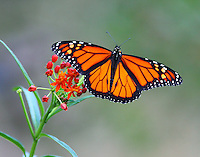 Monarch male on butterfly weed in September