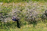 BNPS.co.uk (01202) 558833. <br /> Pic: CorinMesser/BNPS<br /> <br /> Pictured: Fruit farmer Jonathan Hoskyns checks the dabinett cider apple trees in his orchard at North Perrott Fruit Farm in Somerset.<br /> <br /> Cider apple growers are preparing for a bumper crop this year - but due to the pandemic the fruit will be used to make electricity instead of cider.<br /> <br /> With festivals cancelled and pubs and restaurants closed for much of last year, most big cider companies still have a stock of apple concentrate from 2019 and will not need new harvests this year.<br /> <br /> Fruit farmer Jonathan Hoskyns will still get paid a reduced rate for his crop from the cider company.<br /> <br /> But instead of letting the apples rot in the orchard, he is planning to send his cider apples to a biodigester which breaks down organic waste into natural energy.