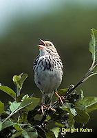 SW09-017z  Savannah Sparrow - singing, declaring territory - Passerculus sandwichensis